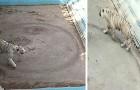 Les tristes images d'un tigre qui tourne en rond à l'infini dans son petit enclos au zoo de Pékin
