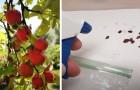 Comment faire pousser un pommier à partir des pépins : le guide étape par étape