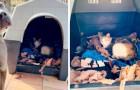 Un pitbull fa amicizia con una gatta incinta e le