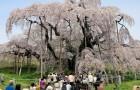 Takizakura, de 1000 jaar oude kersenboom die pandemieën, tsunami's en nucleaire crises heeft overleefd