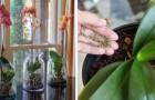 Algunos consejos útiles para cuidar una orquídea en casa: una planta preciosa, pero también muy delicada