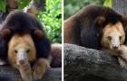 Brandy, il raro orso tibetano che sembra un leone e ha perso la sua