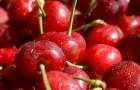 As cerejas: saborosas e ricas em propriedades anti-inflamatórias, são excelentes aliadas para a nossa saúde