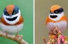 De roodkruinstaartmees:: de vogel met de kleurrijke veren en een