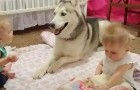 Parents capture a precious moment of their husky playing with their twin daughters