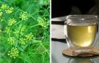 Le fenouil : riche en antioxydants naturels, ce légume est digestif et aide à dégonfler l'abdomen