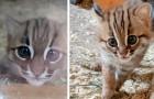 Cornwall: er worden een paar zeer zeldzame roestkatten geboren, de kleinste wilde katten die in de natuur bekend zijn