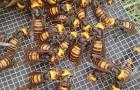 Usa: arriva il calabrone gigante asiatico, capace di sterminare interi alveari di api in poche ore