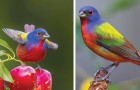 De Purpergors, het vogeltje dat in een schilderspalet lijkt te hebben gebaad