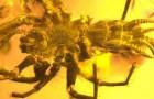 Wissenschaftler finden eine in Bernstein konservierte prähistorische Kreatur: es handelt sich um eine