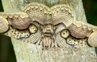 Un fotografo immortala una splendida falena del Borneo: la forma delle sue ali ricorda gli occhi di una tigre