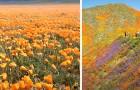Le splendide immagini della superfioritura in California: un tripudio di colori visibile anche dallo spazio
