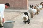 Questi cani poliziotto che fanno la fila per mangiare sono molto più ordinati e pazienti di noi umani