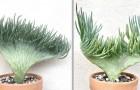 Questa sinuosa pianta succulenta ricorda la coda di una sirena nell'atto di immergersi