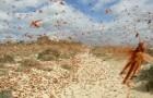 Sardegna: un'invasione di milioni di locuste sta distruggendo l'agricoltura al centro della regione