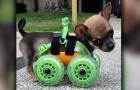 This poor dog was born without two legs, but thanks to wheels he can move independently