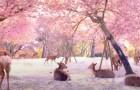 Japon, des dizaines de cerfs se reposent paisiblement sous les cerisiers en fleurs : les images semblent sorties d'un film
