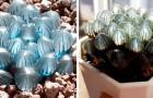 Diese ursprünglichen Sukkulentenpflanzen haben Blätter, die an magische transparente Kristalle erinnern