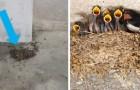A Sirmione qualcuno ha distrutto decine di nidi e uova di rondine, intrappolando gli uccelli con delle reti
