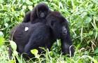 Congo, 12 rangers en 4 burgers gedood in een verschrikkelijke hinderlaag: al jaren verdedigen ze gorilla's tegen stropers