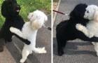 Dois cães da mesma ninhada se encontram depois de um longo tempo e parece que conseguem se reconhecer instantaneamente