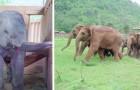 Un'orda di elefanti corre a dare il benvenuto ad un cucciolo orfano che ha perso la mamma
