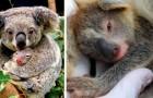 Australien, der erste Koala-Welpe wird nach den verheerenden Bränden von 2019 geboren: eine Hoffnung für die Zukunft
