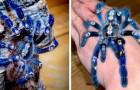 Eine sehr seltene metallisch-blaue Tarantel: selbst diejenigen, die keine Spinnen mögen, werden sie faszinierend finden