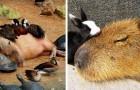 I capibara sono roditori così socievoli che riescono a fare amicizia praticamente con chiunque