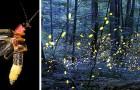 Glühwürmchen drohen wegen der Lichtverschmutzung für immer