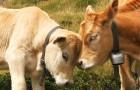 Secondo uno studio, le mucche comunicano tra di loro e provano sentimenti proprio come gli esseri umani