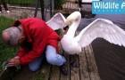 Het is geweldig om te zien dat een zwaan op deze manier hun jongen beschermen