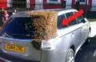 Bees lay siege to a car for 2 days: the queen bee was trapped inside