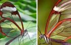 Les papillons aux