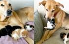 Une gentille chienne s'occupe des chats abandonnés dans un refuge comme si elle était leur maman