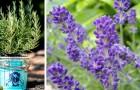 7 plantas repelentes de mosquitos: em vasos ou no jardim, elas mantêm insetos afastados nas noites de verão