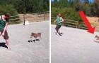 Um cavalinho de 3 dias não para de perseguir seu amigo humano em um piquete