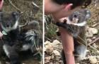 Un curieux bébé koala grimpe au bras d'un humain : il a trouvé un nouvel ami