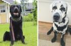 Die Besitzer konnten nicht verstehen, warum ihr Labrador weiß wurde, dann fanden sie heraus, dass er Vitiligo hat