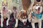 Ein verlassenes Kätzchen wird von drei Huskies