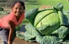 Uma menina se recusa a interromper o projeto da escola e cultiva um repolho gigante de 14 kg
