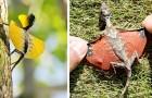 En Asie, il existe des lézards volants dont les ailes membraneuses rappellent des dragons miniatures
