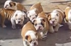 La battuta di caccia dei piccoli bulldog... ma cosa staranno cercando di prendere?