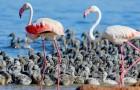 Più di 600 fenicotteri rosa nascono in una laguna salata: è la prima volta dal 1983