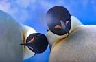Video Video's van Pinguins Pinguins