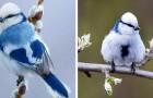 La Mésange azurée est un merveilleux oiseau dont les couleurs de glace rappellent celles d'un flocon de neige