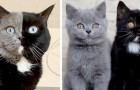 Un chat avec le museau de deux couleurs différentes devient le papa de deux petits : l'un est noir, l'autre est gris