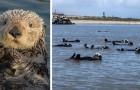 Un gruppo di lontre vengono riprese durante un'involontaria sessione di nuoto sincronizzato