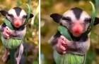 Una donna filma un cucciolo di opossum che dorme beatamente abbracciato a una pianta