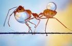 Ein Fotograf fängt die unsichtbare Faszination von Ameisen ein, die Wassertropfen an einer Schnur tragen